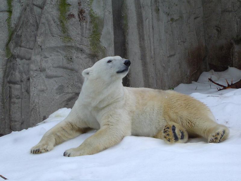 Crushed Ice Polarbear